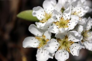 Pear Blossom by S4MMY4RT