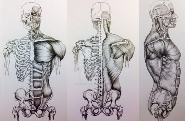 3 View Skull to Pelivs Bone/Muscle Study by BillyDoubleU
