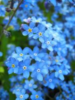forget-me-not_02 by Sangvinar
