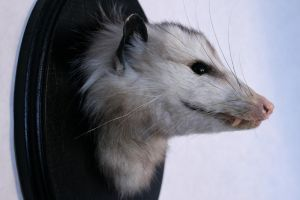 Virginia Opossum by dMaterialize