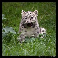 Baby Snow Leopard: Tasty II by TVD-Photography