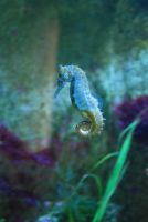 Seahorse Stock by LimeStock