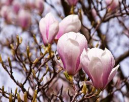 Magnolia series II by Bozack
