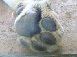 Lion Paw - up close by dtf-stock