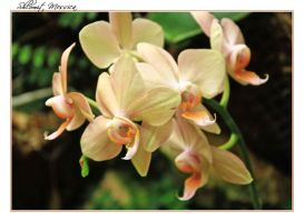 Orchids for L. by ShlomitMessica