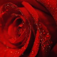 Red rose by Ranavern