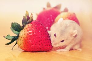 Strawberry hamster by shakabet