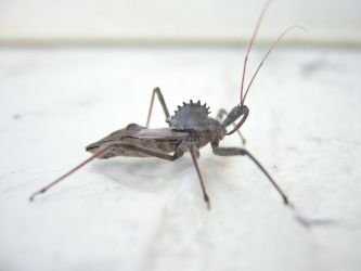 Wheel Bug Sideview by Edminster
