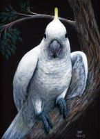 Curious sulphur-crested cockatoo by shanskala