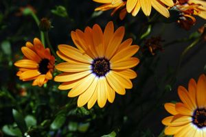 African Daisies by Lyastricity