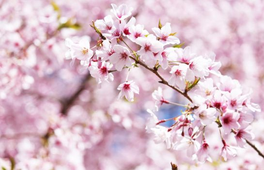 Cherry Blossoms by sabisabi1