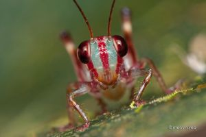 Jungle Cricket by melvynyeo