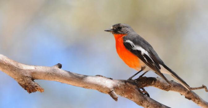 Flame Robin 0439 by DPasschier