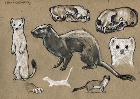 Ermine 100animals100days by wolf-minori