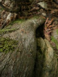 Roots by LadyAsymmetric