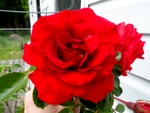 Red Rose by AlisonSchofield