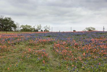 Bluebonnet Feild2 by NHuval-stock