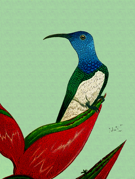 The white necked jacobin by MalaMi95