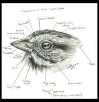 Passerine Topography - Head by autumn-rains