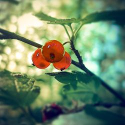red berries by Amalus