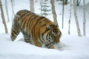 Siberian tiger by ticoun