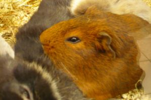 Chestnut - Maroon Cavia Friend by nicolapin