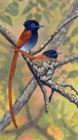 African Paradise Flycatchers by WillemSvdMerwe
