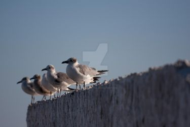 Seagulls 001 by strongerthanyou