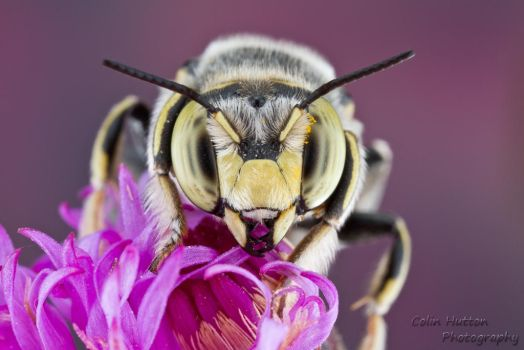 Spot-fronted wool-carder bee by ColinHuttonPhoto
