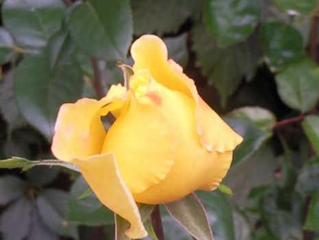 yellow rose by bogdancta