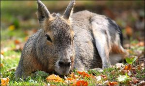 Patagonian mara. by Evey-Eyes