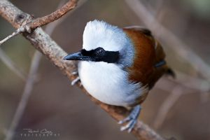 .:White-crested Thrush:. by RHCheng