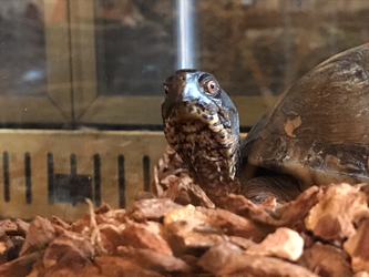 Tiny the box turtle by CrookedEmerald
