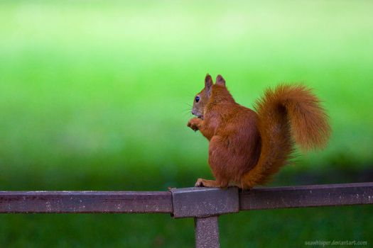 Squirrel Variations by squirrelhollow