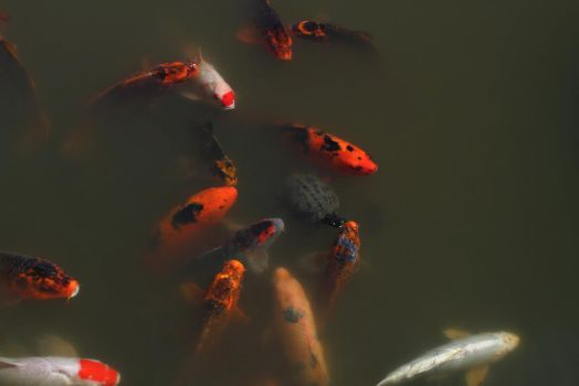 Koi at the Seattle Japanese Gardens by oOBrieOo