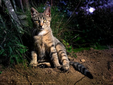 Midnight Kitty by Andenne