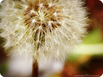 Dandelion 2 by monstatofu2011