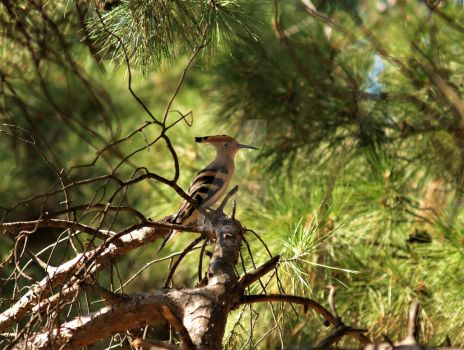 Hoopoe by FeatherNerd