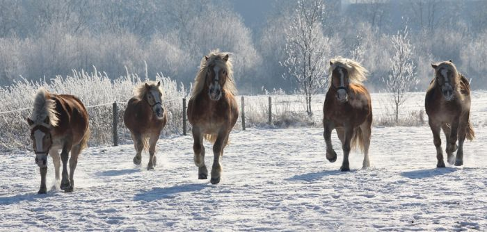 Haflingers in snow by Thez-Art