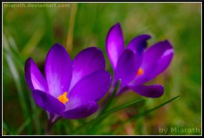 Spring Flowers in our Garden by Miarath