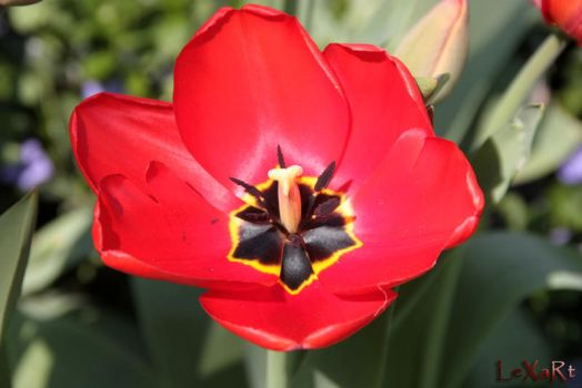 Tulip Red by LexartPhotos