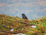 Sparrow In Snow Grass by wolfwings1