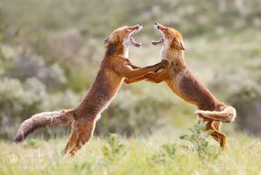 Fox Trot by thrumyeye