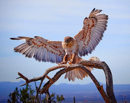 Ferruginous Hawk by malevisionstudio