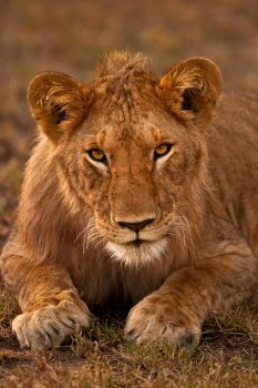 African Lion 38 by catman-suha
