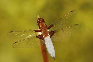Dragonfly by A2812