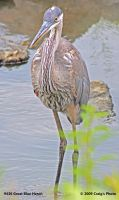 9436 Great Blue Heron by wtsecraig