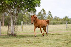 Dn warmblood neck arched trot by Chunga-Stock