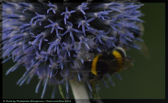 Bumblebee on a flower by DarkLordEllia