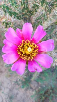 Cactus flower by James-cooper